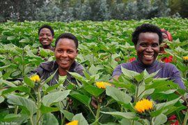 Руанда вошла в число главных поставщиков цветов для фестиваля в Голландии